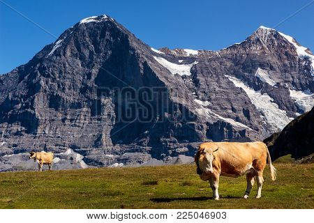Swiss brown cows on top of Mannlichen in the Bernese Alps. Majestic north face of the Eiger and the Monch in the background. Lauterbrunnen, Bernese Oberland, Switzerland
