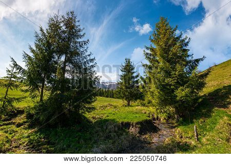 spruce trees on grassy hills along the brook. beautiful mountainous landscape in springtime under the gorgeous sky