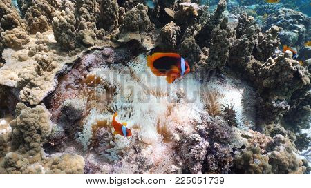Clown Anemonefish, in their Sea Anemone. Amphiprion percula.Underwater coral garden with anemone and a pair of yellow clownfish. Clown Anemonefish, swimming among the tentacles of its anemone home. Travel concept.