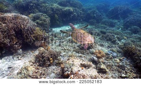 Sea turtle swimming underwater over corals. Sea turtle moves its flippers in the ocean under water. Wonderful and beautiful underwater world. Diving and snorkeling in the tropical sea. Philippines.