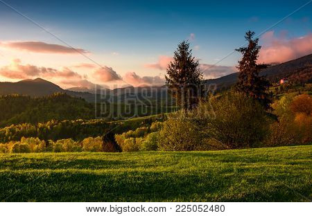 gorgeous purple sunset in mountainous countryside. beautiful nature scenery with two tall spruce trees on the grassy slope