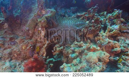 Crown thorns starfish amongst the coral. Hard and soft corals. Diving and snorkeling in the tropical sea. Travel concept.