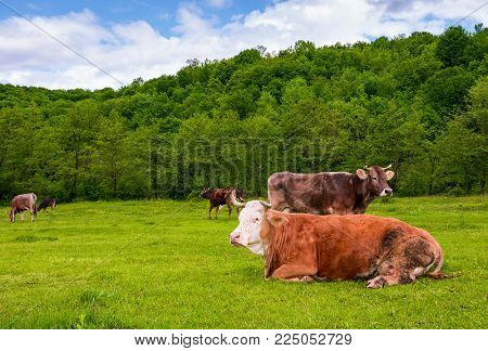 herd of cows on a pasture in mountains. fat rufous cow lay on the ground. lovely scenery in springtime