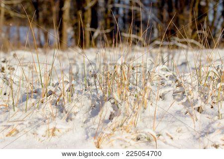 Ornamental grasses in winter in the snow