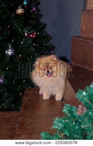 Cute pomeranian spitz is sitting near the christmas tree. Pet animals. Traditional holidays.