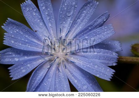 Beautiful chicory flower with drops of summer rain. Live nature.