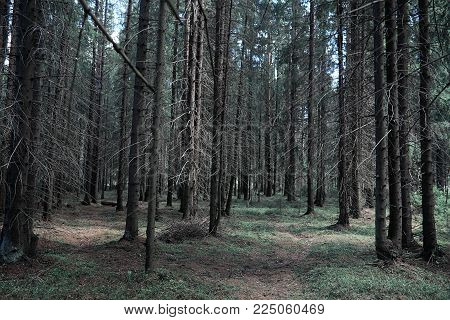 Pine forest. Depths of a forest. Journey through forest paths. Trees in early spring. Trekking through the reserve.