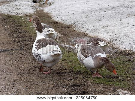 geese, wonderful geese travel together, white and black goose paintings living in natural environment,