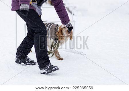 Cocker Spaniel runs the commands in the winter