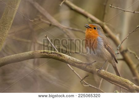 Robin Bird. Erithacus rubecula sitting on the perch.