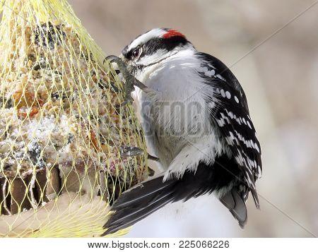 The Downy Woodpecker in High Park of Toronto, Canada, January 30, 2018