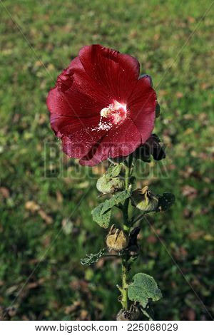 Flower of red mallow on a blurry background. Selective focus