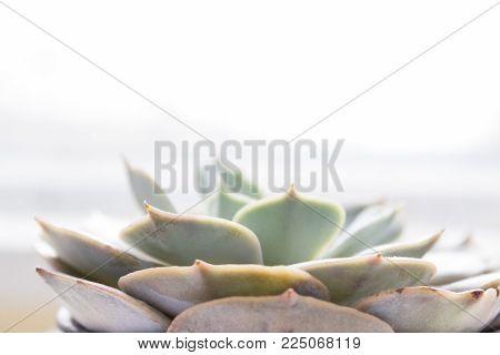 The succulent plant