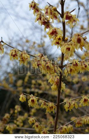 Witch Hazel (hamamelis) In Bloom Late Winter
