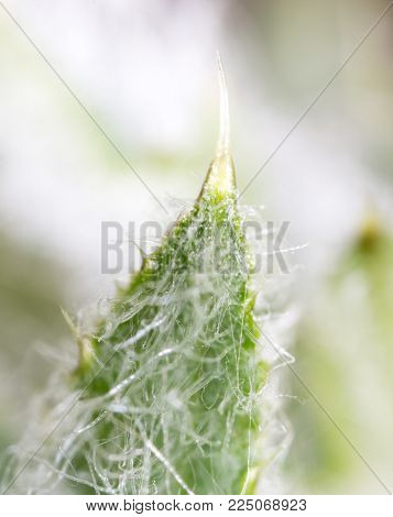 needles on the prickly plant. macro . In the park in nature