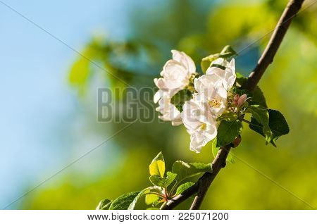 Spring apple flowers in the spring garden under sunlight, spring flower background. Apple spring tree branch with blooming spring flowers in sunny weather. Sunny spring background