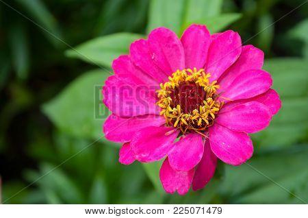 Zinnia Flower, Closeup Natural View Of Summer Flower Of Zinnia In The Garden. Flower Background With