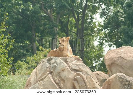 Denver Zoo Animal - Female Lion Perched on a Rock.