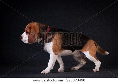 Beagle in studio full body portrait on dark grey background