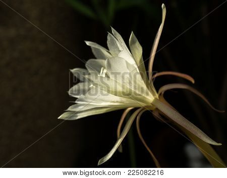 Macro profile backlit white flower Queen of Night Epiphyllum oxypetalum, nocturnal very fragrant flower blooms at night and wilts the next day. Nisagandhi bethlehem lilly cactus flower