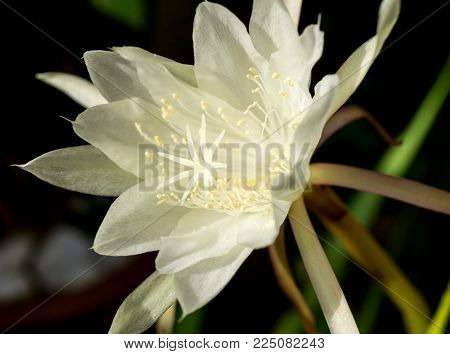 Macro white flower Queen of Night Epiphyllum oxypetalum, nocturnal very fragrant flower blooms at night and wilts the next day. Nisagandhi bethlehem lilly cactus flower