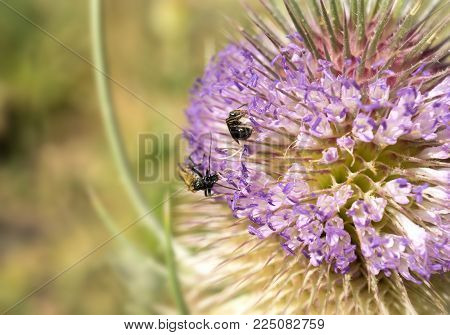 macro bee pollinating detail extracting pollen from a thistle in springtime bugs, insect
