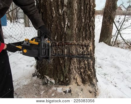 A man with two hands holds a chainsaw and makes a second incision in the trunk of a thick birch. Illustrative photo on the technology of cutting fat trees in winter