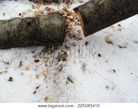 Winter background - concept provision of firewood for the heating season - wood cutted into two parts. In the snow among the sawdust lies a thin trunk of the tree, broken in half
