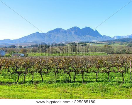 FROM STELLENBOSCH, CAPE TOWN,SOUTH AFRICA,  WITH GRAPE VINES IN THE FORE GROUND AND MOUNTAINS IN THE BACK GROUND