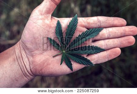 Sheet Of Marijuana In The Palm Of Your Hand. Hemp Medicines Drug.