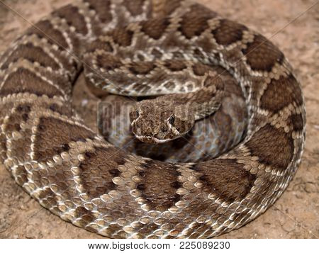 A closeup of an Arizona Rattlesnake coiled up and ready to strike. The scale patterns suggest that this might be a Diamond Back, which is very venomous.