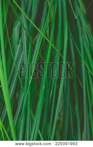 Long Narrow Needle Like Dangling Leaves Of Tropical Plants Forming Natural Botanical Foliage Pattern