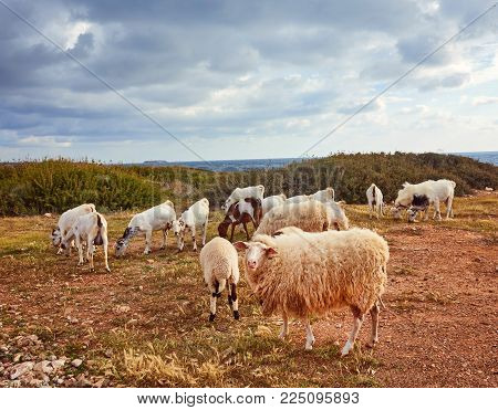 Real photo of sheep in their natural environment. Natural animal photo in the field. Grass on the background. Green, ecological, nature loving. Rural photo .