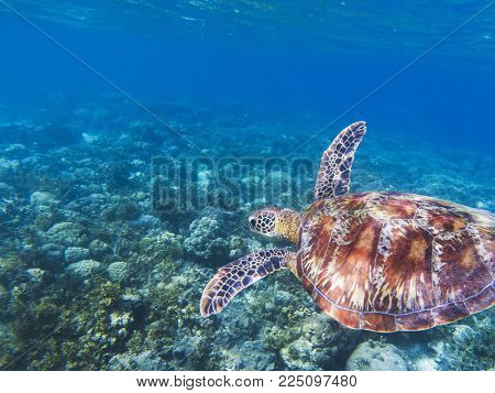 Sea turtle in tropical seashore. Seaworld underwater photo. Green turtle undersea. Marine tortoise swims in coral reef. Marine sanctuary for endangered species. Oceanic wildlife. Sea turtle in nature
