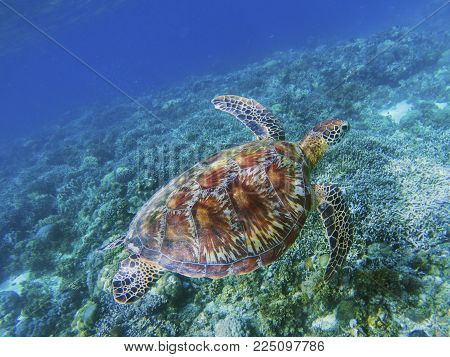 Sea turtle in tropical sea shore underwater photo. Cute green turtle undersea. Marine tortoise swims above coral reef. Marine sanctuary for endangered species. Oceanic wildlife. Sea turtle in nature