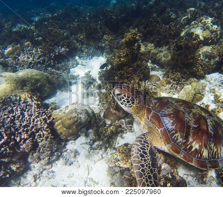 Sea turtle on coral sea bottom. Seaworld underwater photo. Green turtle undersea. Marine tortoise swims in shallow sea. Marine sanctuary for endangered species. Oceanic wildlife. Sea turtle in nature