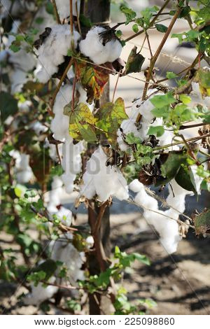Cotton Plant with Cotton flowers and Cotton fluff. most downloaded cotton plant.