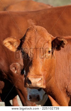 Portrait of a cow on a African free-range farm