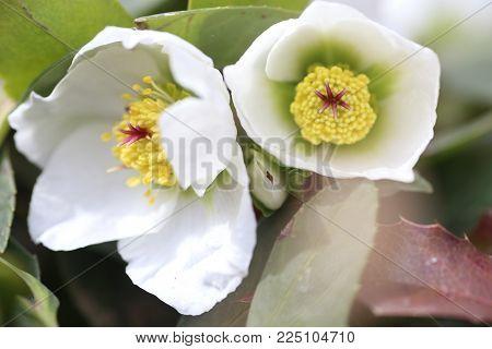 Hellebore, Hellebores, Helleborus Flowering Plants In The Family Ranunculaceae. Pistils And Stamens