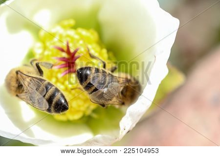 Honey Bee Collects Nectar And Pollen In Early Spring From Hellebore, Hellebores, Helleborus Flowerin