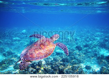 Sea tortoise in blue water above coral reef. Tropical sea nature of exotic island. Green sea turtle in blue sea water. Green tortoise in tropical lagoon. Underwater photo of cute marine animal turtle