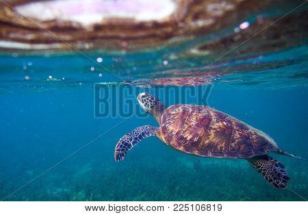 Sea turtle breaths air. Green sea turtle closeup. Wildlife of tropical coral reef. Tortoise undersea. Tropical seashore snorkeling. Marine turtle in blue water. Aquatic animal underwater photo