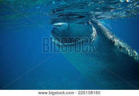 Whale shark open mouth underwater photo. Whale shark head closeup by sea surface. Huge oceanic animal. Biggest shark in natural environment. Snorkeling or diving with whale shark in Philippines poster