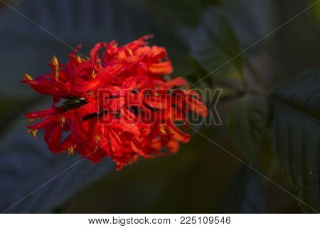 Red flowers and green leaves in sunset sun. Exotic flower in tropical garden. Red tropical flower closeup photo. Exotic island nature. Blooming summer garden. Exotic holiday escape destination place