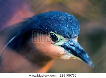 Night heron head closeup. Wild tropical bird photo. Heron in zoo. Philippines heron. Wild animal of tropical nature. Water bird with long beek. Tropical bird watching. Exotic island fauna. Wild bird