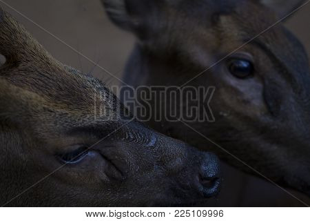 Two deer closeup photo. Deer head close-up. Reindeer family in the zoo. Philippines deer. Wild animal of tropical nature. Warm climate fauna. Animalistic photo of cute animals. Exotic island fauna