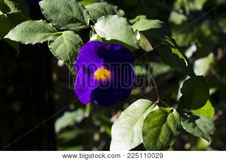 Violet and yellow tropical flower in sunset sun. Exotic plant in tropical garden. Violet tropical blossom closeup photo. Exotic island nature. Blooming summer garden. Purple flower on green bush