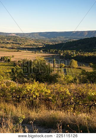 Rolling Hills With Deciduous Trees And Golden Fields In The Background With Grape Vines In The Foreg