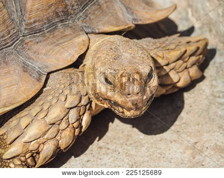 Portrait of African spurred tortoise (Centrochelys sulcata) on the floor.