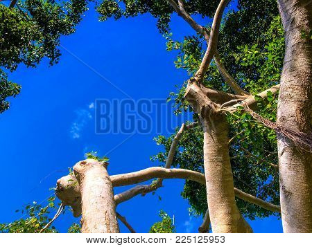 blue sky and banyan tree branches in Florida